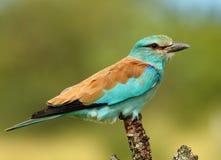 Turkusowy ptak Zdjęcia Stock