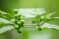 Turky berry is growth in forest Stock Image