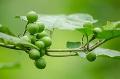 Turky berry is growth in forest Stock Images