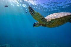 Big turtle in coral reef underwater shot Royalty Free Stock Photo