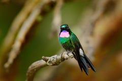 Turmalina Sunangel do colibri, sentando-se no ramo em Equador Pássaro com garganta e plumagem cor-de-rosa no habitat tropico da f imagem de stock royalty free