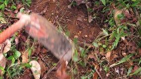 Turmeric ριζώματα που συγκομίζονται και που κρατιούνται έπειτα σε ένα χέρι απόθεμα βίντεο
