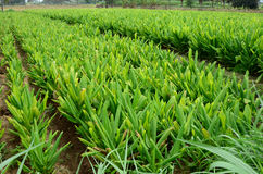 Turmeric Farm Royalty Free Stock Photography