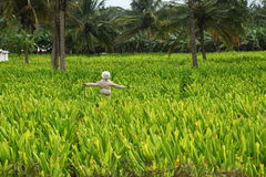 Turmeric farm with a laughing scarecrow Royalty Free Stock Photography