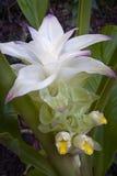 Turmeric flower Curcuma longa. True flower of edible turmeric Curcuma longa Royalty Free Stock Photos