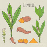 Turmeric medical botanical isolated illustration. Plant, root cutaway, leaves, spices hand drawn set. Vintage sketch Royalty Free Stock Photos