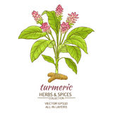 Turmeric  plant illustration Stock Image