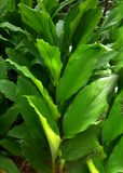 Turmeric plant Stock Images