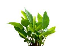 Turmeric plant . Royalty Free Stock Photography
