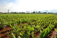 Turmeric plants. Field in tamilnadu (india stock photo