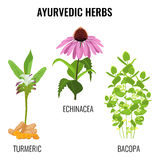 Turmeric with rhizomes, bacopa aquatic plant, Echinacea herbaceous flower Stock Images