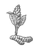 Turmeric root and flower. Hand drawn  vintage engraved. Illustration. Isolated on white background Stock Photo