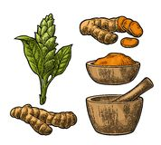 Turmeric root, powder and flower with pestle and mortar. Hand drawn  color vintage engraved illustration. Isolated on white background Royalty Free Stock Photo