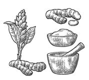 Turmeric root, powder and flower with pestle and mortar. Hand drawn  vintage engraved illustration. Isolated on white background Royalty Free Stock Photos