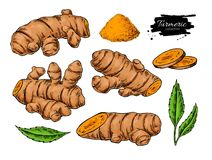 Turmeric root vector hand drawn illustration.  Curcuma, powder,. Leaf and sliced pieces drawing. Natural flavor. Herbal spice sketch. Detox food ingredient Stock Photo