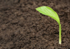 Turmeric seedling Royalty Free Stock Photo