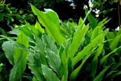 Turmeric garden  / Turmeric leaves Stock Photography