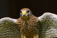 Turmfalke Falco tinnunculus Raubvogel stockbild