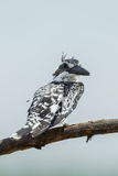 Turn back angle Pied Kingfisher Royalty Free Stock Image