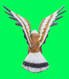 Turn back  Eagle or Falcon statue Isolated on green screen chroma Royalty Free Stock Images