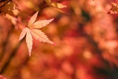 Turn red autumn maple leaf Royalty Free Stock Photos