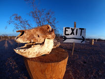 Turn right at the Skull. An intact Javalina Skull being used to mark the way out of an area of land in Arizona Royalty Free Stock Image