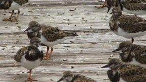 Turn stone wading birds close up stock video