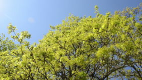 Turn view of green maple tree branch move in wind over blue sky. Turn view of green maple tree bracnhes move in spring wind over blue sky stock video