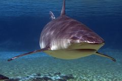 Turnat. Grey Whaler Shark up close swimming over coral reef Royalty Free Stock Photos
