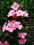 Turner Pink Oleander Flower photos libres de droits