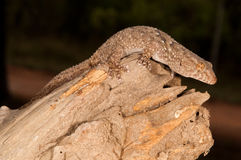 Turner's thick-toed gecko. A large and stout gecko. Tail is shorter than body and is flat-based and is segmenjted.  Normally creamy-olive coloured.  Prefers Stock Photos