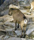 Turnera av den Dagestan bergsfåret ett idisslande däggdjur av den massiva klyva-traskade bovidscherstien arkivbild
