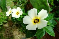 Turnera subulata Royaltyfria Bilder