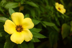 Turnera subulata Royalty Free Stock Images
