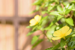 Turnera subulata  and backgorund brown color Royalty Free Stock Photo