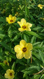 Turnera Subulata flowers in the garden Royalty Free Stock Photos