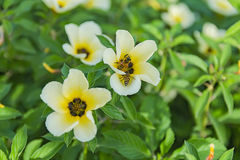 Turnera subulata. Is a species of flowering plant in the passionflower family known by the common names white buttercup, sulphur alder, politician`s flower Stock Images