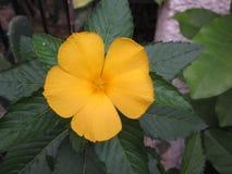 Turnera ulmifolia eller gulingalväxt Arkivfoton