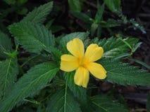 Turnera ulmifolia eller gulingalväxt Arkivfoto