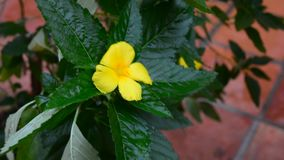 Turnera ulmifolia flower. In the garden. Taken in Hoi An, Vietnam stock video