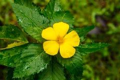 Turnera Ulmifolia Sage Rose blomning på Koh Kood, Thailand Arkivfoton