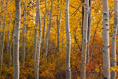 Turning Aspen Grove. Colorful Aspen Trees, showing Fall colors in brilliant yellows, reds and golds royalty free stock images