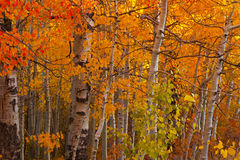 Turning Aspens Royalty Free Stock Photo