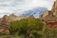 The Turning of Color in the Reef. Cottonwood trees starts to turn autumn colors with red rock and cliffs surroundings in the Capital Reef National Park in Utah Stock Image