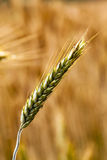 Turning green rye. The ears of a turning green rye photographed by a close up royalty free stock images