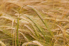 Turning green rye. The ears of a turning green rye photographed by a close up stock images