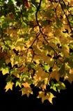 Turning Maple Royalty Free Stock Images