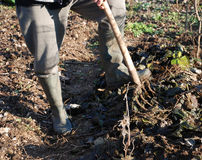 Turning Over Soil. A farmer uses a fork to mix leaf mulch into the upper layer of soil and turns it over with a pitch fork Royalty Free Stock Photography