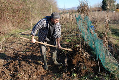 Turning Soil in Winter. A farmer uses a fork to mix leaf mulch into the upper layer of soil and turns it over with a pitch fork Royalty Free Stock Photography