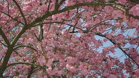 Turning towards Tree Trunk Pink Cherry Blossom stock footage